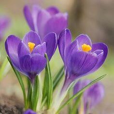 Comment planter les crocus et en faire la culture Purple Flowers, Planting Flowers, Planting Bulbs, Plants, Types Of Flowers, Crocus Flower, Crocus, Trees To Plant, Spring Flowering Bulbs
