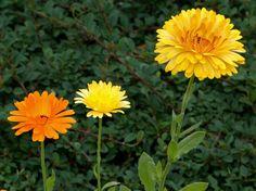 Calêndula.  Fotografia: http://www.decorfacil.com