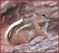 White-tailed Antelope Squirrel (Ammospermophilus leucurus ...