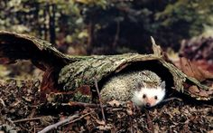 Cute little hedgehog