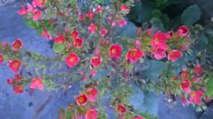 กุหลาบหิน (Kalanchoe blossfeldiana Poellnitz.)