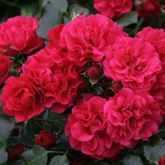 Rosen online kaufen   Gärtnerfreude   rosenpark-draeger.de