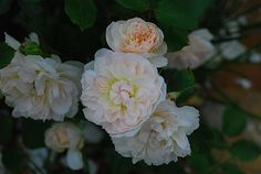 Mary Magdalene Rose - Austin 1998. Myrrh, tea fragrance. Blooms in flushes. Small bush (3 feet). Zones 5b-10b.