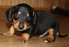 7 Adorable Black Miniature Dachshund Puppies | All Puppies ...