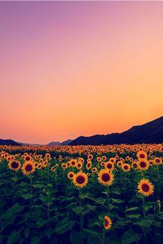 disminucion:  sunflower field, Yoshiki Fujiwara
