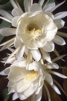 Night-Blooming Cereus (Epiphyllum oxypetalum)