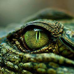 CROCODILO - grande plano do olho.
