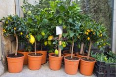 18 Best Ways To Grow Lemon Trees In Pots Borax Cleaning, Household Cleaning Tips, Cleaning Recipes, House Cleaning Tips, Diy Cleaning Products, Cleaning Hacks, House Smell Good, House Smells, Lemon Tree From Seed