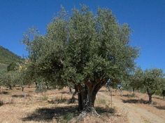 Så skal de gyldne dråber høstes | Spanien i Dag
