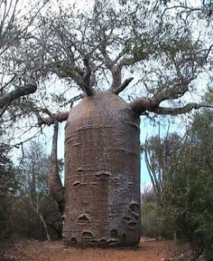 Baobab trees may be the oldest life forms on the African continent, and many that are still standing today have been around since Roman times.