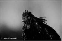 photographie  bastian alix coq bantam de pékin