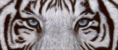 tiger eyes picture | White Tigers Eye Gallery for white tigers eye