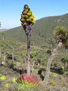 Huge agave