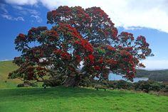 Pohutakawa Tree New Zealand summer flowers The Beautiful Country, Beautiful Dream, Beautiful Images, Summer Flowers, Wild Flowers, Tree Carving, Kiwiana, Unique Plants, Tree Forest