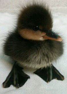 A Wee Black Quacker