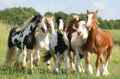 Q hermosos caballos...