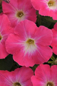 New Petunias Making Their Debut In 2015   Greenhouse Grower
