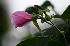 eastern rosemallow for the bridesmaids and my table