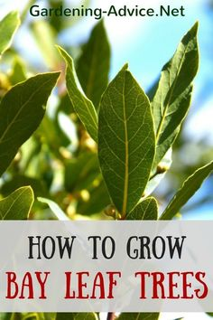 The Bay Leaf Plant is a lovely evergreen small tree or shrub for your containers or garden and should not be missing from your herb collection. Grow a Bay Laurel Tree if you like cooking with its aromatic leaves!