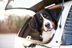 Bernese Mountain Dog. So beautiful.