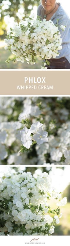 Phlox Whipped Cream Phlox drummondii Tall stems are loaded with pure, milk white flower heads, and at first glance, this phlox could easily be mistaken for a hydrangea. These highly fragrant blooms are ideal for wedding work and make a great addition to the garden. Seed available from Floret #growfloret