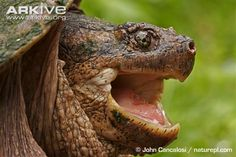 The common Snapping Turtle occurs from southern Canada southwards through the eastern two thirds of the US.