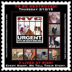 TO BE DESTROYED: 7 beautiful dogs to be euthanized by NYC ACC- THURS 02/12/15. This is a VERY HIGH KILL shelter group. YOU may be the only hope for these pups! ****PLEASE SHARE EVERYWHERE!To rescue a Death Row Dog, Please read this:  http://urgentpetsondeathrow.org/must-read/    To view the full album, please click here:    https://www.facebook.com/media/set/?set=a.611290788883804.1073741851.152876678058553&type=3
