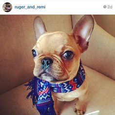'Remi' the French Bulldog and his New Scarf.