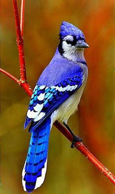 The Blue Jay - Keeps company with the Cardinal through Ohio winters Rare Birds, Exotic Birds, Colorful Birds, Most Beautiful Birds, Pretty Birds, Animals Beautiful, Vogel Gif, Blue Jay Bird, Bird Drawings