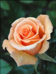 Women's Special: Four-Strategies Flowers Can Modify Your Working Day-To-Day Lifestyle Lovely Apricot Rose All Flowers, Flowers Nature, Pretty Flowers, Rose Pictures, Flower Photos, Yellow Roses, Pink Roses, Orange Rosen, Foto Rose
