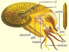 Ammonite: a member of an extinct group of marine cephalopods with a chambered shell. Shelled, Prehistoric Animals, Stuffed Shells, Ammonite, Long Time Ago, Spiral, Ocean, Earth, Nautilus