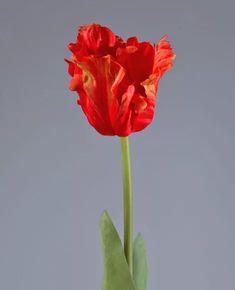 попугайные тюльпаны фото: 14 тыс изображений найдено в Яндекс.Картинках