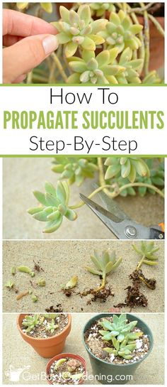 Succulents make great houseplants and they are very easy to propagate. How to propagate succulents from leaf and stem cuttings, step by step instructions. # succulent Gardening How To Propagate Succulents From Cuttings Propagate Succulents From Leaves, Succulent Cuttings, Growing Succulents, Succulent Gardening, Succulent Care, Cacti And Succulents, Planting Succulents, Garden Plants, Gardening Tips