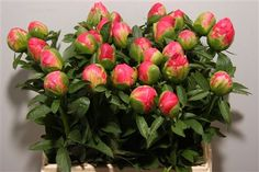 Paeonia Coral Sunset http://www.my-peony.com