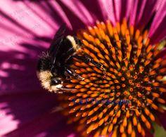Honey Bee photo, Bee photo, Echinacea flower picture, fine art 8 x 10, garden photography, nature photograph, bee wall print, wedding gift