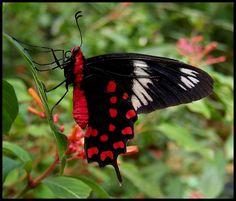 Butterfly Crimson Rose