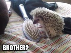 16 Reasons Hedgehogs Are Better Than Politicians - Funny Animal Quotes - - Amazing Creatures: 30 Funny animal captions part 8 pics) The post 16 Reasons Hedgehogs Are Better Than Politicians appeared first on Gag Dad. Animal Captions, Cute Animal Memes, Funny Animal Quotes, Animal Jokes, Cute Funny Animals, Funny Cute, Cute Dogs, Humorous Quotes, Super Funny