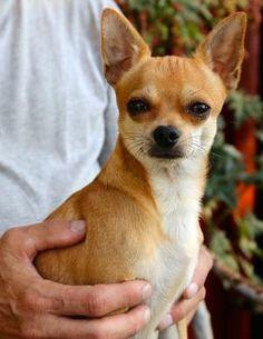 Cuánto mide un perro Chihuahua
