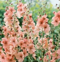 Verbascum Jackie perennial that behaves like an annual in poorly drained soil zones 38 Garden Shrubs, Garden Plants, Garden Landscaping, Rock Decor, Flower Farm, Garden Cottage, Dream Garden, Garden Planning, Garden Inspiration