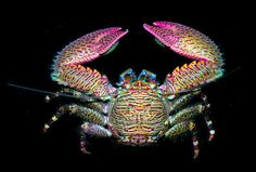 Porcelain Crab from the Pacific coast of Panama