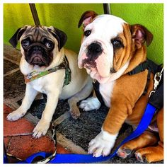 """""""Reggie, the Pug, and Hank, the Aussie Bulldog, are best mates for life ❤"""" Congrats to @Monique Pridmore & thanks for posting!"""