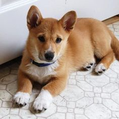 Shiba Inu Corgi 🐕 mixes are adorable, but are they the perfect dog for you? Find out 3 reasons vets are warning 🚫 against adopting a Corgi Shiba Inu mix Shiba Inu Corgi Mix, Corgi Chihuahua Mix, Corgi Puppies, Cute Puppies, Cute Dogs, Puppy Mix, Dog Mixes, Purebred Dogs, Cute Little Animals