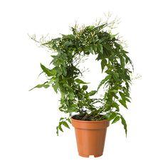 IKEA - JASMINUM, Potteplante, Frisk opp hjemme med planter kombinert med blomsterpotter som passer stilen din.