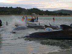 Những nguyên nhân cá voi mắc cạn   Vietnam Aquaculture Network - Mạng Thủy sản Việt Nam