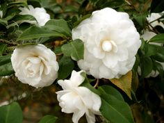 Camellia japonica Alba Plena One of the oldest and still most popular camellias in America is the Japonica called 'Alba Plena'. This lovely formal double was introduced to England from China in 1792. It is still found growing and blooming beautifully in gardens all over the world.