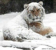 Beautiful tiger all covered in snow after rolling and rolling around. How playful he is! What a lovely day to have fun in the snow. Beautiful Cats, Animals Beautiful, Big Cats, Cool Cats, Mon Zoo, Animals And Pets, Cute Animals, Snow Tiger, Gato Grande