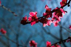 red plum - 紅梅
