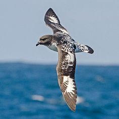 Cape Petrel by Dylan Vasapolli Cruise To Nowhere, Sea Birds, Flocking, Cape, Animals, Mantle, Animales, Cabo, Animaux
