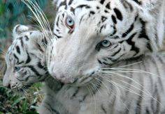 A white tiger cub is carried by its mother !!