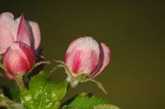 La sangre de la sidra , flor del mazano , Comarca de la sidra , Valdedios ; Asturias ;Flowers ;
